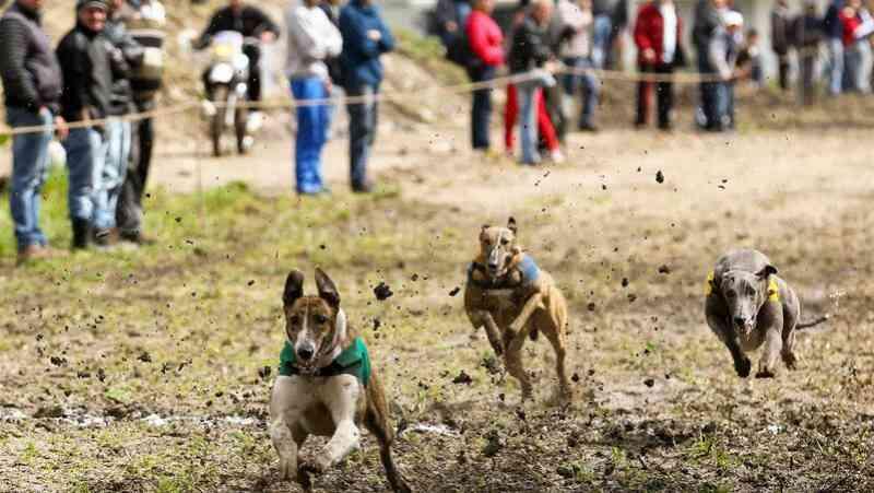 Cruz Vermelha cancela corrida de galgos por pressão da SOS Animal, em Portugal
