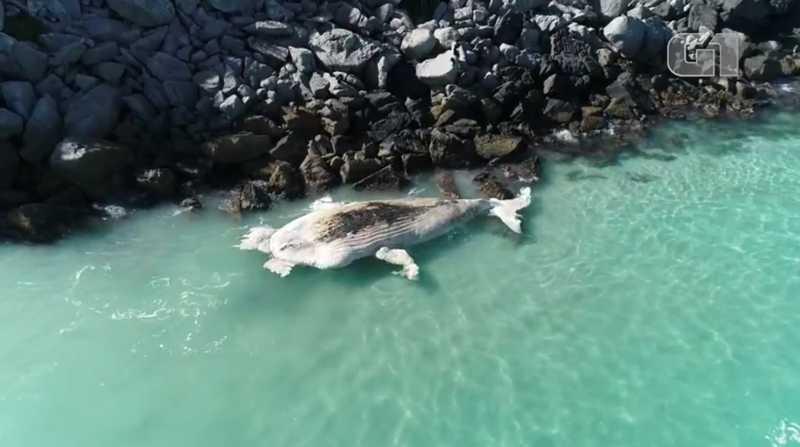 Baleia-jubarte é encontrada morta na Ilha do Farol, em Arraial do Cabo, no RJ