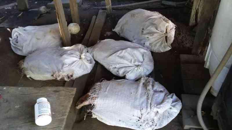 Tartarugas são achadas amarradas dentro de sacos em casa de Costa Marques, RO