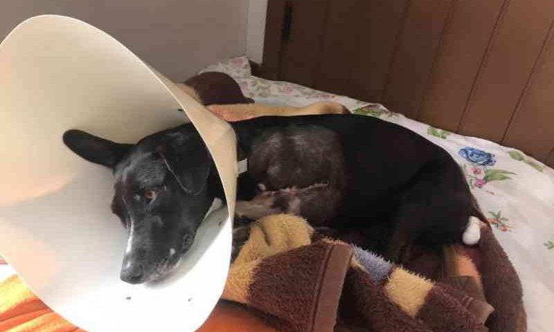 ONG pede auxílio para cuidados com animal vítima de mutilação em Teutônia, RS