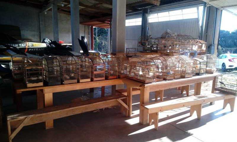 Gaiolas foram localizadas em propriedades de cinco criadores irregulares, que assinaram termo circunstanciado — Foto: Divulgação/Secretaria do Meio Ambiente e Infraestrutura