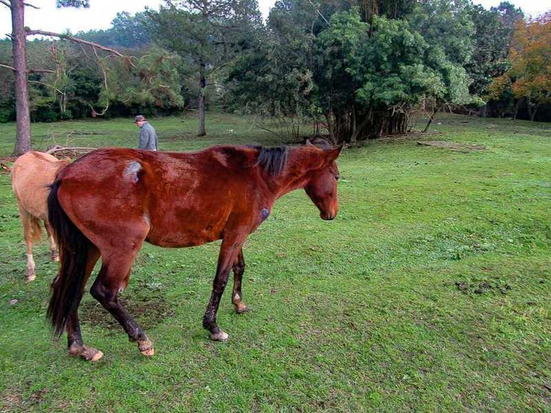 Animal está com outros 31 cavalos, 19 aptos atualmente para adoção - Claudio Furtado/EPTC PMPA