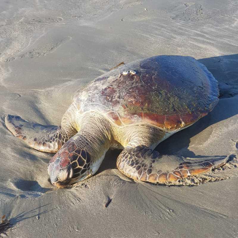 Tartaruga encontrada pode ter ficado presa na mesma rede que o golfinho — Foto: Grupo de Operações e Resgate GOR