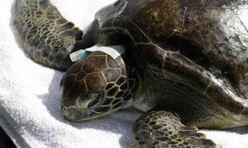 Tartaruga-verde é resgatada com sinais de anemia em Praia Grande, SP
