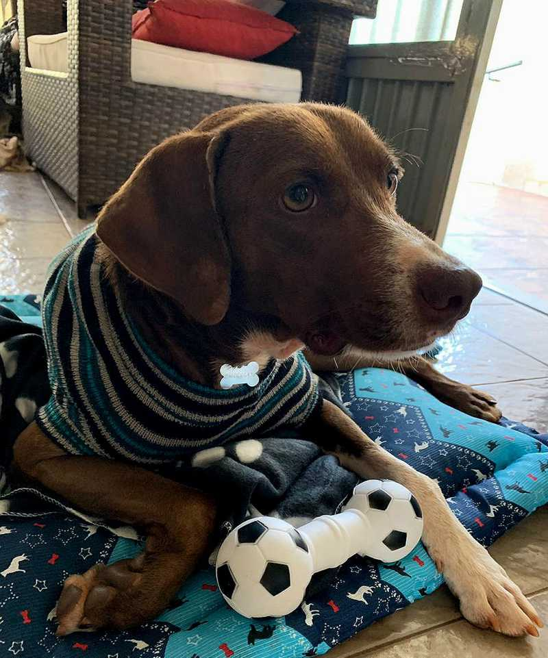 Cão é adotado e se recupera após ter piche jogado sobre o corpo em Barretos (SP) — Foto: Alda Franco/Arquivo pessoal