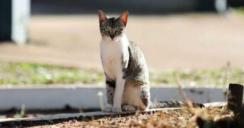 A população de gatos é a prioridade do grupo criado no campus da USP, em Bauru – Foto: Denise Guimarães