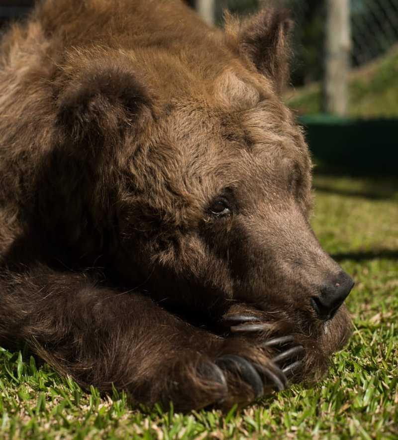 Ursa Rowena foi recebida no abrigo após mobilização na web — Foto: Biga Pessoa/ Rancho dos Gnomos