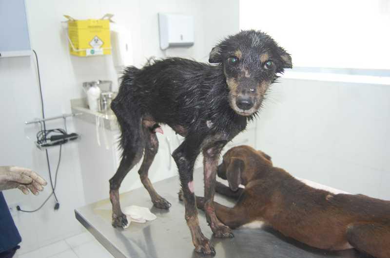 Polícia Ambiental resgata cães em situação de maus-tratos em SP — Foto: Divulgação/GPA Vale do Ribeira