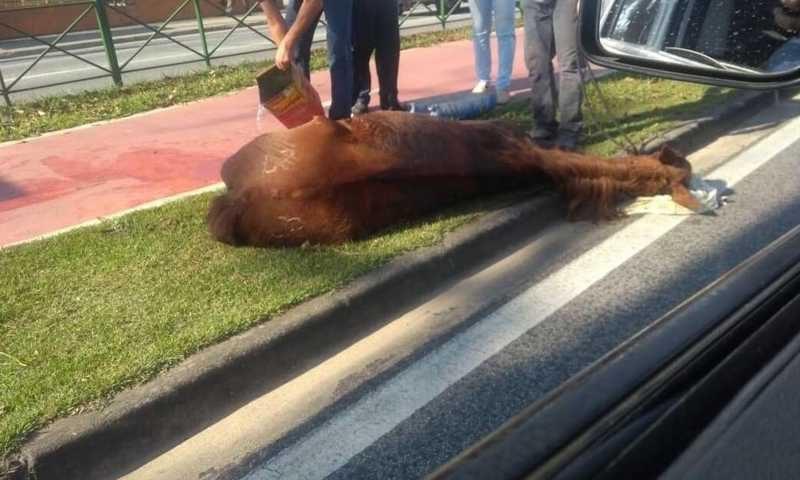 Égua que desmaiou após maus-tratos é sacrificada em Sorocaba, SP