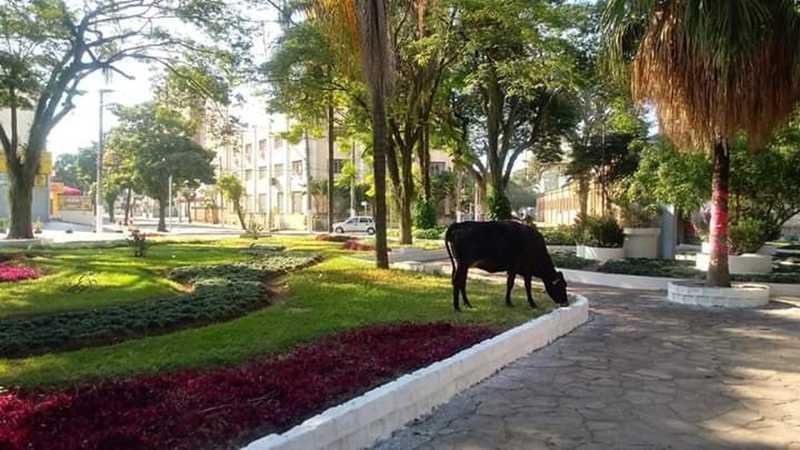 Morador fez flagrante de vaca na Praça da CTI, na região central — Foto: Arquivo Pessoal