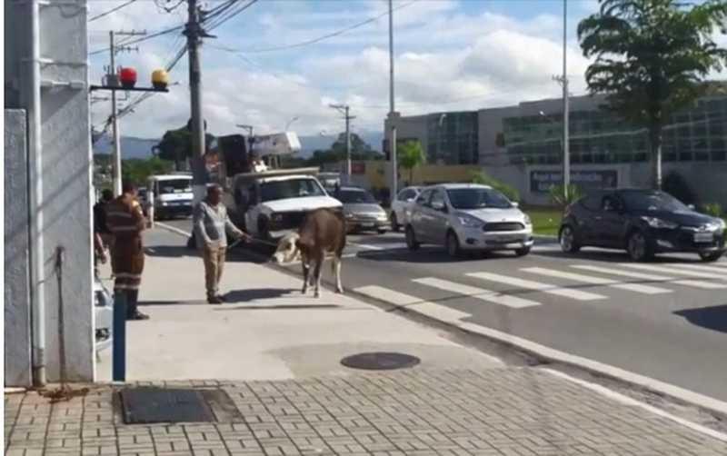 Entre os flagrantes já feitos na cidade, uma vaca parou o trânsito próximo ao shopping — Foto: Reprodução/TV Vanguarda