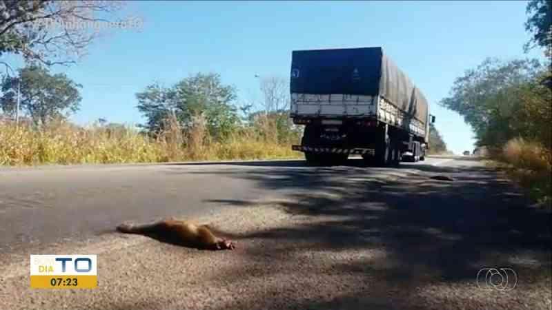 Morte de animais silvestres em rodovias aumenta durante período de queimadas no Tocantins