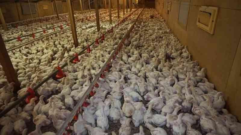Tesco suspende as vendas de frango de uma fazenda 'ética' após investigação secreta de ativistas revelar maus-tratos chocantes contra as aves