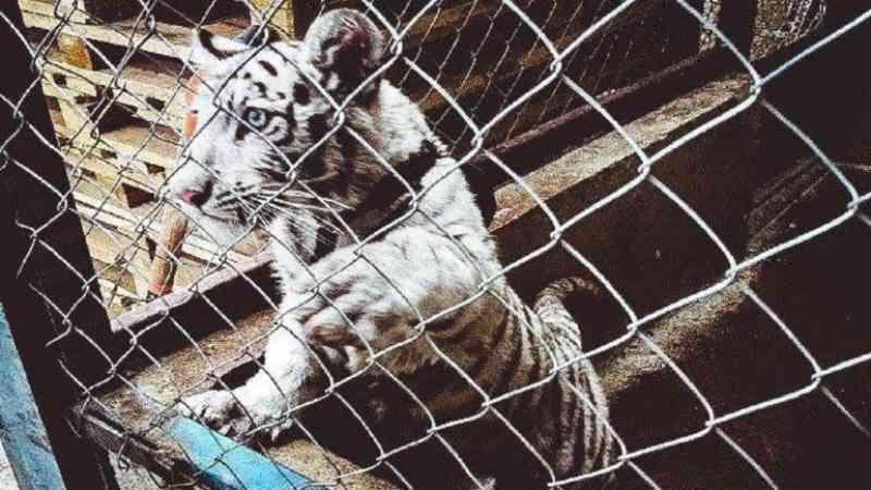 Tigres, golfinhos e tubarões: milhares de animais selvagens apreendidos em operação mundial