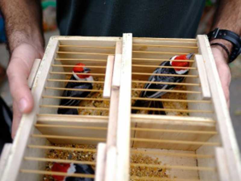 FPI flagra venda irregular de aves silvestres em Arapiraca. FOTO: ASCOM/MPE