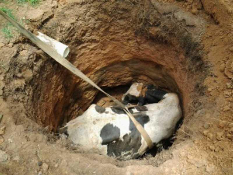 Vaca cai em poço em Penedo, mas é resgatada sem vida. FOTO: DIVULGAÇÃO