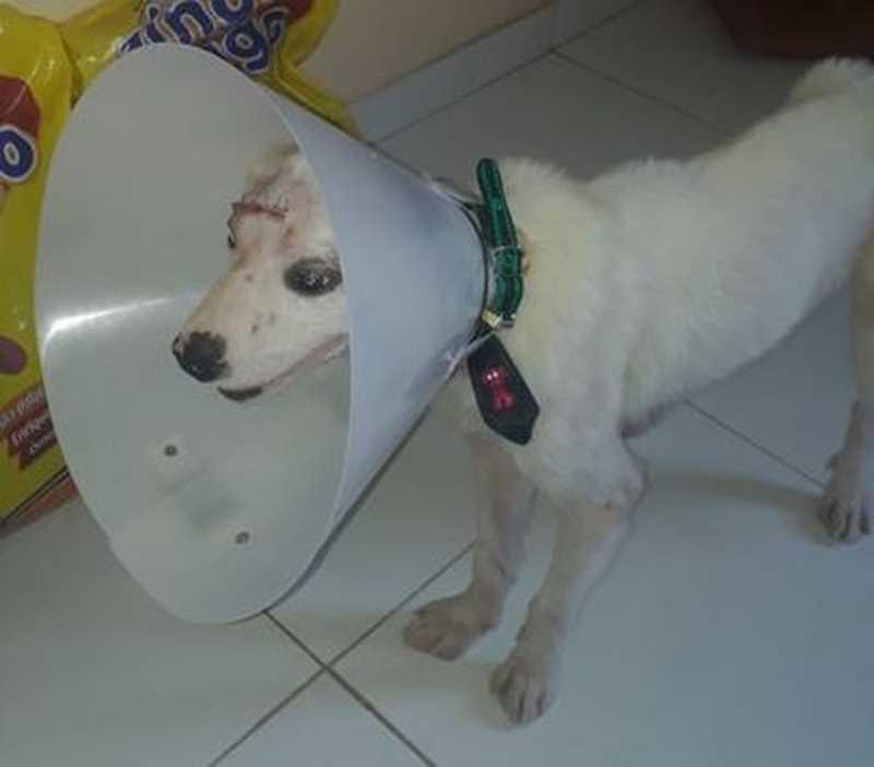 Cãozinho está em tratamento após corte na cabeça — Foto: Keith Najer/Arquivo Pessoal