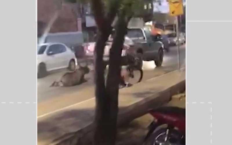 Conforme a delegacia da cidade, o dono do veículo que arrastou o animal se apresentou à polícia, mas foi liberado. — Foto: Reprodução / Arquivo Pessoal