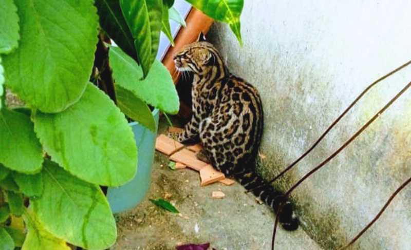 Filhote de jaguatirica é encontrado em casa do sul da Bahia — Foto: Arquivo pessoal