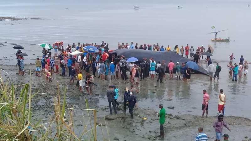 Morre mais uma baleia encontrada encalhada em praia de Salvador; animal tem 39 toneladas