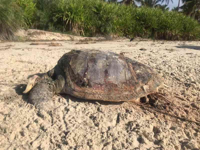 Duas tartarugas são encontradas mortas em praias do sul da BA; ONG registra 80 mortes no ano