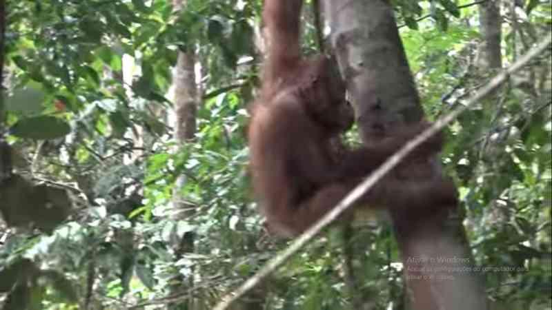 Lindo momento onde dois orangotangos resgatados retornam para a natureza depois de anos de reabilitação