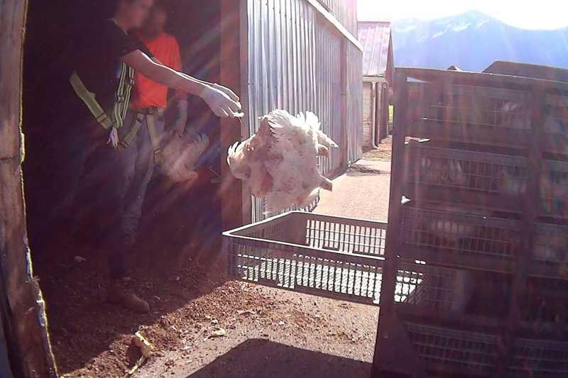 Incerteza sobre vídeo retarda início do julgamento de maus-tratos a frangos no Canadá