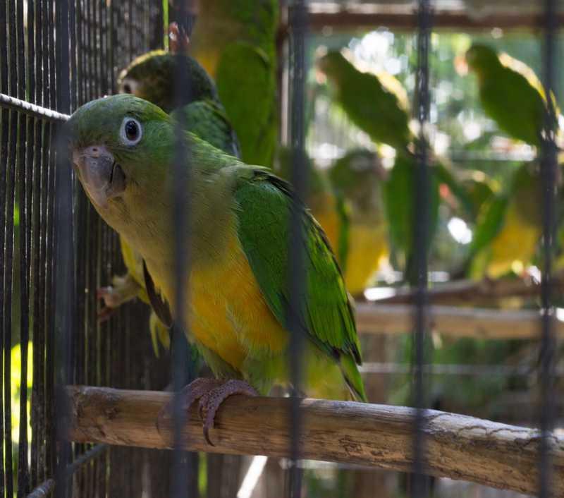 Periquito do Sertão está entre os dez animais com maior índice de apreensão pelo Ibama no Ceará — Foto: Agência Diário