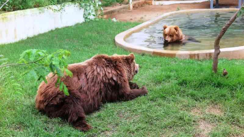 Ursos-pardos Dimas e Kátia são transferidos do zoológico do Ceará para São Paulo