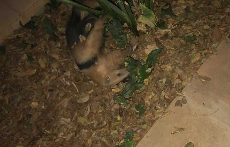 Tamanduá-mirim é resgatado após ataque de cachorros — Foto: PMDF/Divulgação