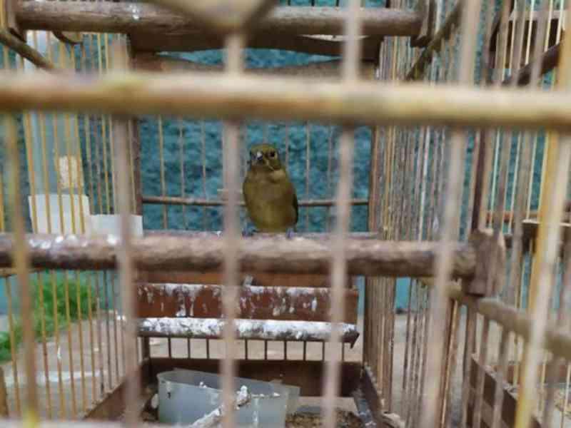 Polícia Ambiental resgata 24 aves silvestres em Mimoso do Sul, ES