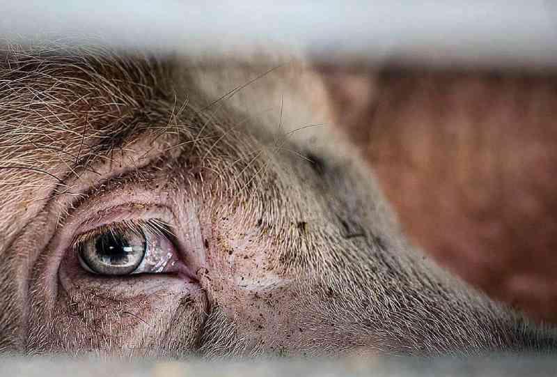 121 milhões de porcos são mortos para alimento nos EUA todos os anos