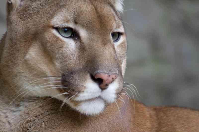 Los Angeles prepara a maior ponte para animais silvestres do mundo