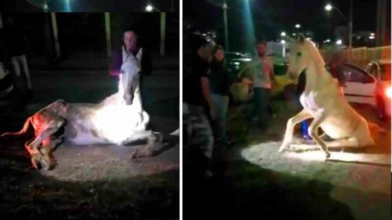 Cavalo ficou horas deitado sem conseguir se levantar – imagens Lucio Cassilla
