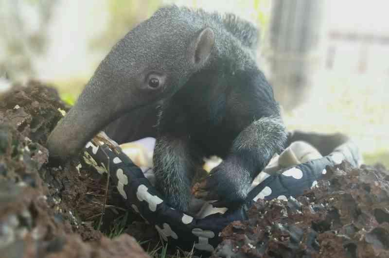 'Tim' foi o nome escolhido para o pequeno tamanduá-bandeira — Foto: Divulgação TamanduASAS