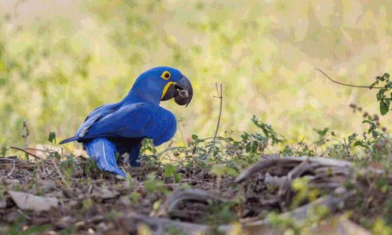 Aves: 60% dessas perdas estão relacionadas ao desmatamento e à degradação drástica do habitat das populações de animais (aaprophoto/Getty Images)