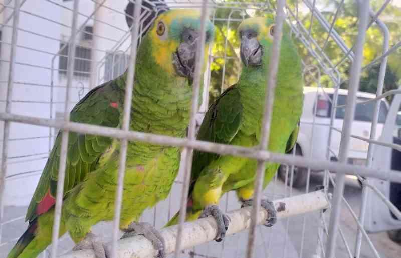 Papagaios são resgatados de cativeiro em Paulista, PE