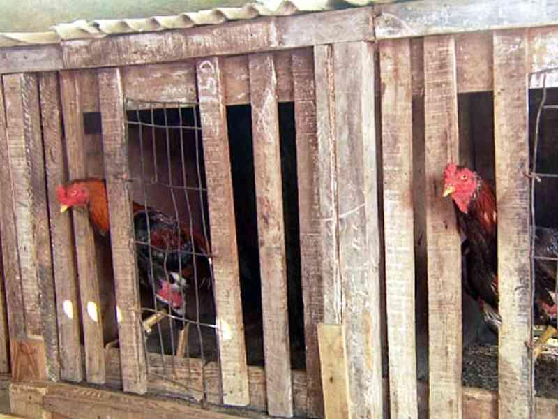 Polícia flagra rinha com 70 galos em Inhuma, PI; apostas chegavam a R$ 5 mil