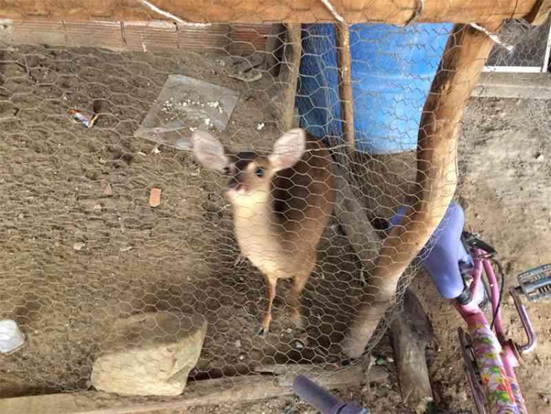 Filhote de veado criado em cativeiro é apreendido no Piauí