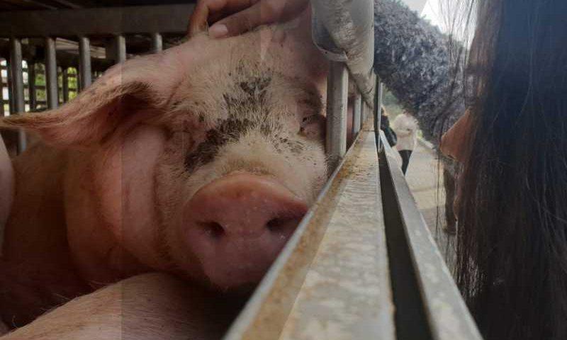 Ativistas juntam-se quinzenalmente para acarinhar animais que vão para abate em Braga, Portugal