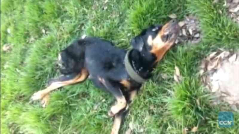 Cachorro desnutrido que não conseguia ficar de pé é resgatado em Foz do Iguaçu, PR; vídeo