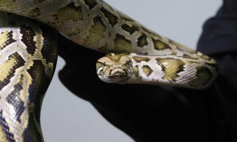 Cobra-papagaio, cobra suaçuboia, tarântula, coruja e píton: alguns dos animais apreendidos em Colombo. Rapaz foi preso (Foto: Franklin de Freitas)