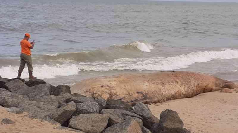 Baleia-jubarte de 10 metros é encontrada morta em Quissamã, no RJ