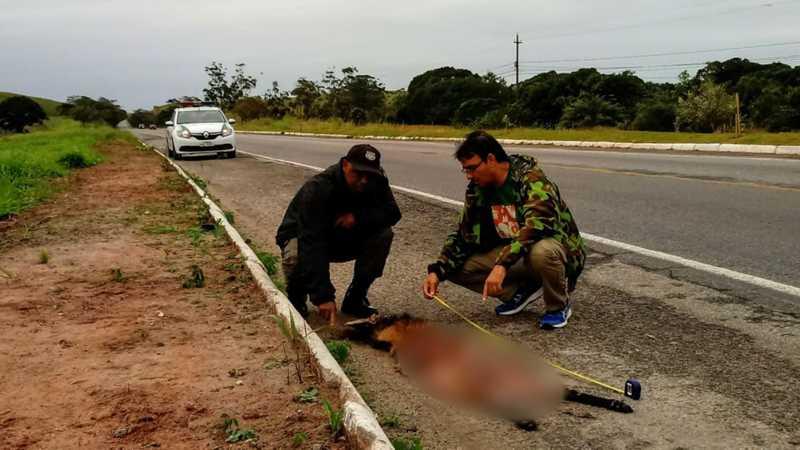 Lobo-guará é encontrado morto às margens da RJ-106 em Rio das Ostras — Foto: Alexandre Bezerra/Parque Natural Municipal Atalaia
