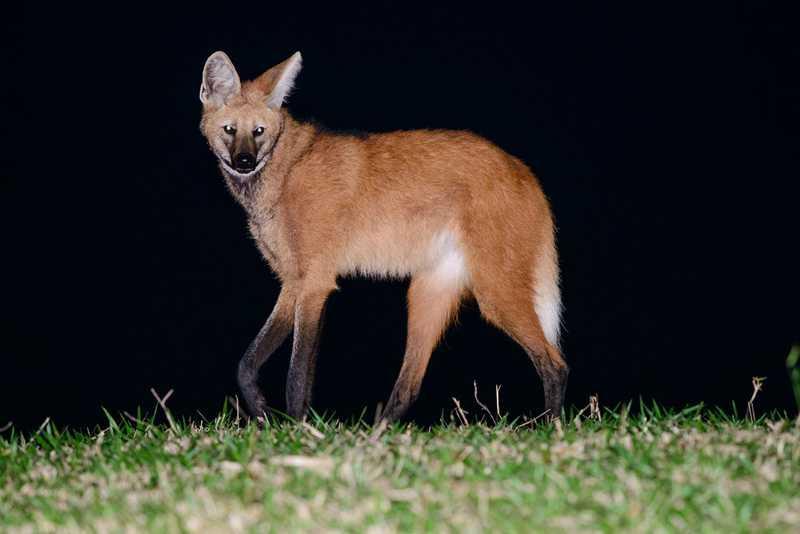 Lobo-guará é uma espécie de hábito solitário que está ameaçada de extinção — Foto: Tiago Degaspari
