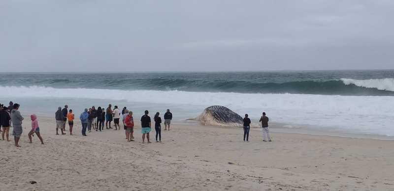Baleia foi encontrada por moradores que acionaram guardas vidas locais — Foto: Divulgação/GV Praia Seca e Saquarema