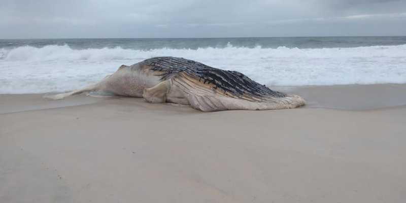 Jubarte encontrada morta em Saquarema, RJ, tem cerca de 15 metros — Foto: DIvulgação/Prefeitura de Saquarema