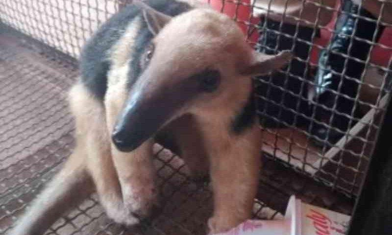 Tamanduá-mirim atingido por queimada em RO não resiste e morre