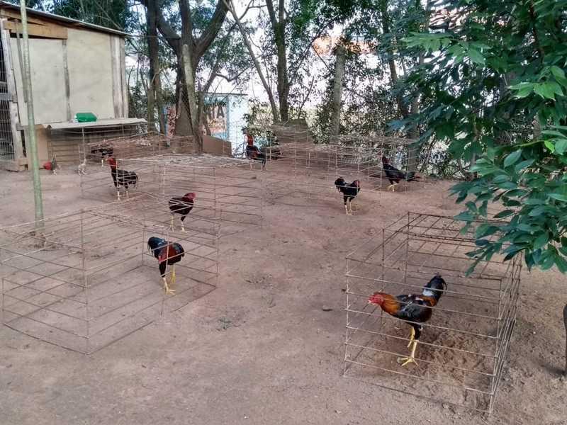 Patram apreendeu 120 galos em Sapucaia do Sul — Foto: Patram/Divulgação