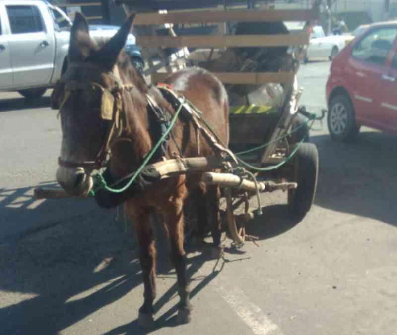 Após flagra de burro debilitado, prefeitura de Canoinhas (SC) comenta projeto de lei